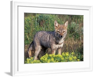 Argentine Grey Fox, Torres del Paine National Park, Chile-Art Wolfe-Framed Photographic Print
