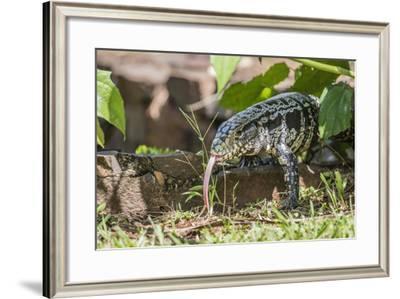 Argentine Tegu Lizard (Tupinambis Merianae) in Iguazu Falls National Park, Misiones, Argentina-Michael Nolan-Framed Photographic Print