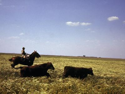 Argentinian Cowboy, known as a Gaucho, Herding Cattle on the Pampas--Photographic Print