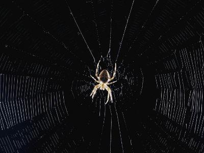 Argiope (Orb Weaver) Spider on an Intricately Woven Web-Paul Zahl-Photographic Print