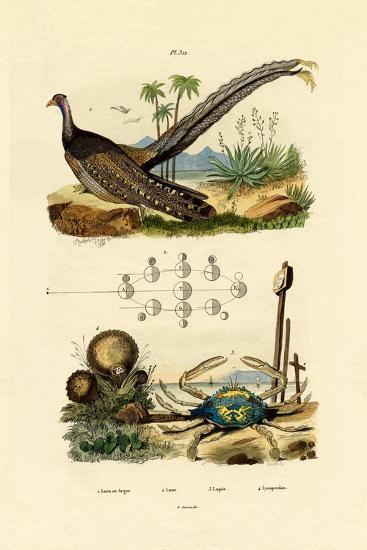 Argus Pheasant, 1833-39--Giclee Print