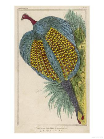 Argus Pheasant--Giclee Print