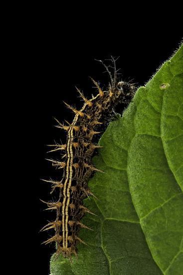 Argynnis Paphia (Silver-Washed Fritillary) - Caterpillar-Paul Starosta-Photographic Print