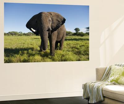 African Elephant (Loxodonta Africana Africana), Kapama Game Reserve