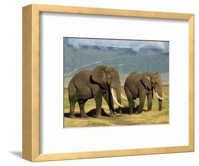 African Elephant, Ngorongoro Crater, Arusha, Tanzania