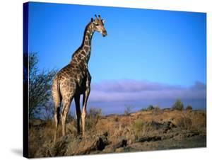 Giraffe Looking Over Its Shoulder, Augrabies Falls National Park, Northern Cape, South Africa by Ariadne Van Zandbergen