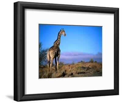 Giraffe Looking Over Its Shoulder, Augrabies Falls National Park, Northern Cape, South Africa