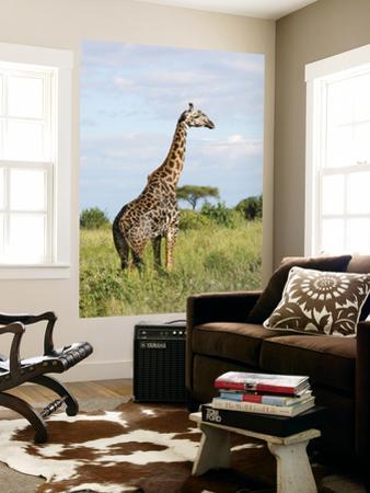 Maasai Giraffe (Giraffa Camelopardalis Tippelskirchi