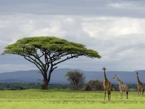 Maasai Giraffe (Giraffa Camelopardalis Tippelskirchi) by Ariadne Van Zandbergen