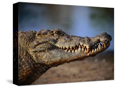 Nile Crocodile (Crocodylus Niloticus) in Profile, Paga, Ghana