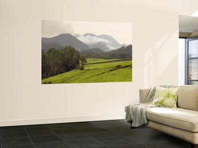 Tea Plantations Fringing Montane Rainforest
