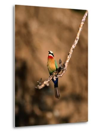 White-Fronted Bee-Eater Perched on Branch, Kafue National Park, North Western Province, Zambia