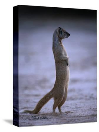 Yellow Mongoose, or Meerkat Standing on Its Hind Legs, Kgalagadi Transfrontier Park, South Africa