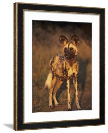 Arican Wild Dog Portrait (Lycaon Pictus) De Wildt, S. Africa-Tony Heald-Framed Photographic Print