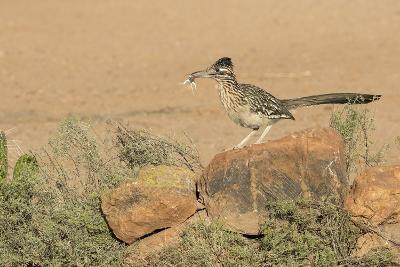 Arizona, Amado. Greater Roadrunner with Lizard-Jaynes Gallery-Photographic Print