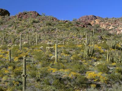 Arizona, Brittlebush Blooms Beneath Organ Pipe, Cholla and Saguaro Cacti, Near Diablo Wash-John Barger-Photographic Print