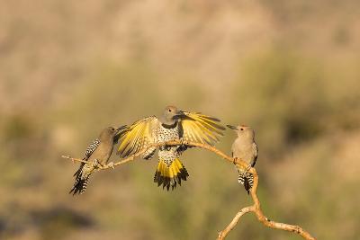 Arizona, Buckeye. Gilded Flicker Lands Between Male Gila Woodpeckers-Jaynes Gallery-Photographic Print