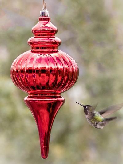 Arizona, Buckeye. Male Anna's Hummingbird Inspects Red Christmas Ornament-Jaynes Gallery-Photographic Print