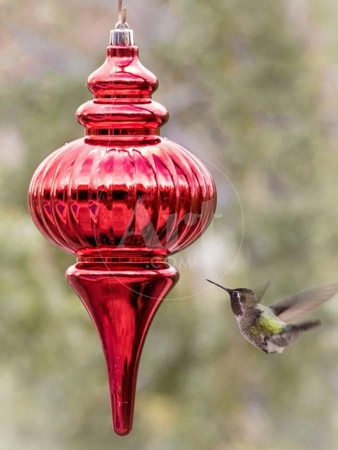 male annas hummingbird inspects red christmas ornament photographic print by jaynes gallery artcom