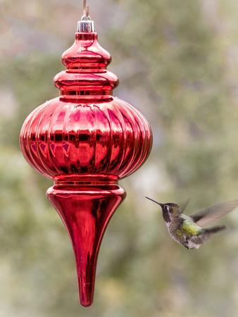 https://imgc.artprintimages.com/img/print/arizona-buckeye-male-anna-s-hummingbird-inspects-red-christmas-ornament_u-l-q13c6pi0.jpg?p=0