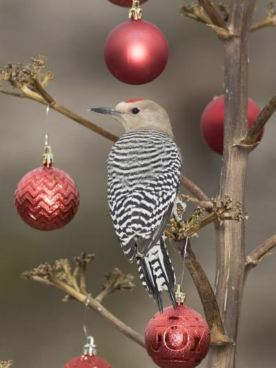 Arizona, Buckeye. Male Gila Woodpecker on Decorated Stalk at Christmas Time-Jaynes Gallery-Photographic Print