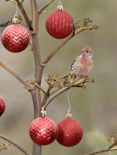 Arizona, Buckeye. Male House Finch Perched on Decorated Agave Stalk at Christmas Time-Jaynes Gallery-Photographic Print