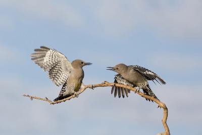 Arizona, Buckeye. Two Gila Woodpeckers Interact on Dead Branch-Jaynes Gallery-Photographic Print