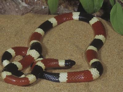 Arizona Coral Snake or Western Coral Snake, Micruroides Euryxanthus-Gerold & Cynthia Merker-Photographic Print