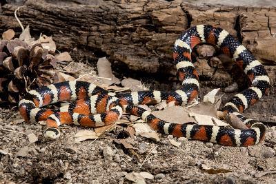 Arizona, Madera Canyon. Sonoran Mountain King Snake-Jaynes Gallery-Photographic Print