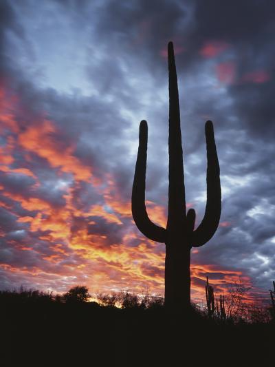 Arizona, Organ Pipe Cactus National Monument, Saguaro Cacti at Sunset-Christopher Talbot Frank-Photographic Print