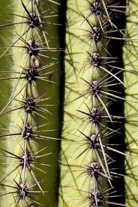 Arizona. Organ Pipe Cactus National Monument. Saguaro Cactus Detail. Carnegiea Gigantea