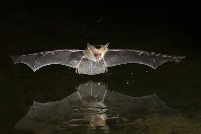 Arizona, Pallid Bat Drinking-Ellen Goff-Photographic Print