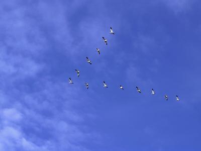 Arkansas, Stuttgart, Geese Head South in the Skies over Southeastern Arkansas--Photographic Print