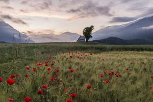 Morning Mood on the Poppy Seed Field by Armin Mathis