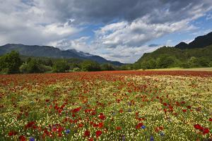 Poppy Field at Domat/Ems in Switzerland by Armin Mathis