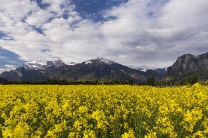 Rape Field in the Churer Rhine Valley by Armin Mathis