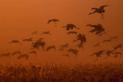 Army Cranes at Golden Sunrise ...-Natalia Rublina-Photographic Print