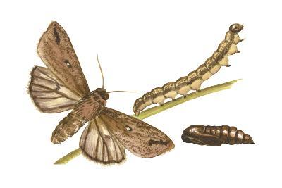 Armyworm Moth, Caterpillar, and Pupae (Mythimna Unipuncta), Insects-Encyclopaedia Britannica-Art Print