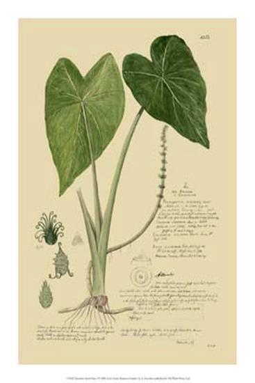 Aroid Plant I-A^ Descubes-Giclee Print