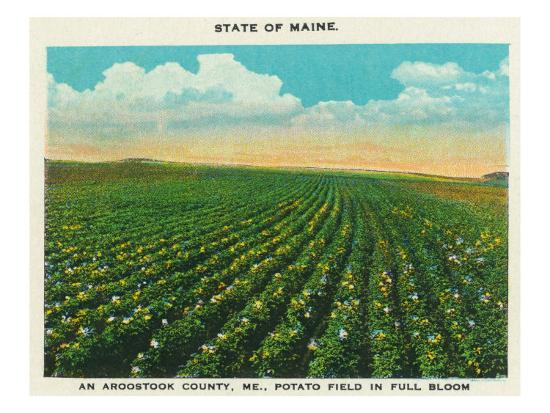 Aroostook County, Maine, View of a Potato Field in Full Bloom-Lantern Press-Art Print