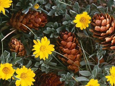 Arrangement of Flowers and Pine Cones-William Manning-Photographic Print