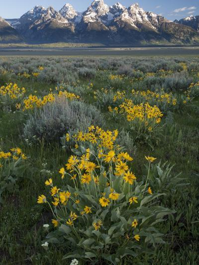 Arrowleaf Balsamroot, Balsamhoriza Sagittata, and the Teton Range-Greg Winston-Photographic Print