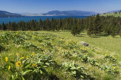 Arrowleaf Balsamroot Blooming on Wild Horse Island State Park, Montana, USA-Chuck Haney-Photographic Print