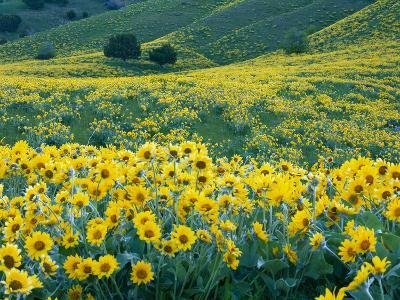 Arrowleaf Balsamroot in Bloom, Foothills of Bear River Range Above Cache Valley, Utah, Usa-Scott T^ Smith-Photographic Print