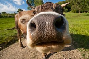 Curious Funny Cow On The Meadow by Arsgera