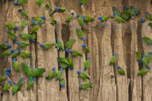 A group of blue-headed parrots cling to clay cliffs, Peru, Amazon Basin. by Art Wolfe
