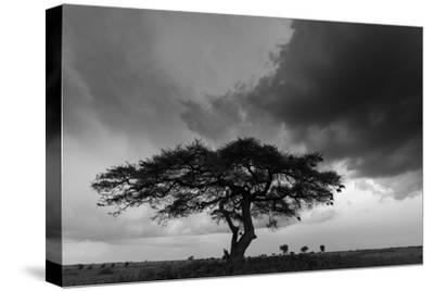 Acacia Tree, Serengeti National Park, Tanzania