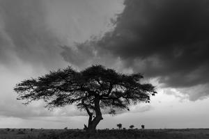 Acacia Tree, Serengeti National Park, Tanzania by Art Wolfe