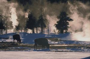 American Bison, Wyoming by Art Wolfe