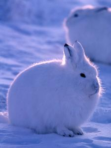 Arctic Hare, Ellesmere Island, Canada by Art Wolfe